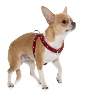 young male chihuahua